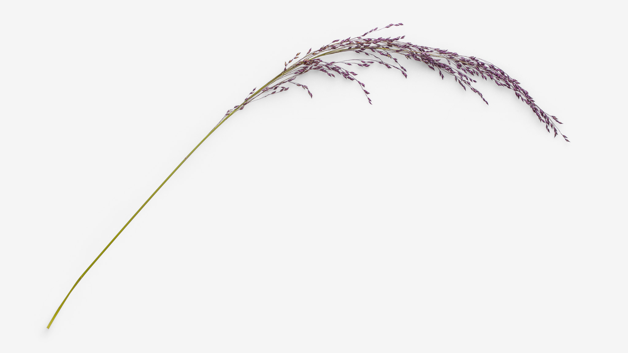 Spikelet PSD image with transparent background